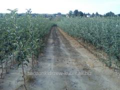 Sprzedaż sadzonek drzew. Sprzedam sadzonki drzew owocowych: sadzonki jabłoń, czereśni, moreli oraz śliwy. W sprzedaży dostępne różne odmiany drzewek.