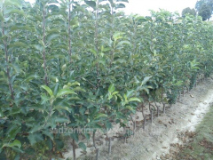 Sprzedaż sadzonek drzew owocowych. Mam do sprzedania sadzonki drzew owocowych. W sprzedaży drzewka jabłoni, moreli, czereśni oraz śliwy, różnych odmian.