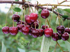 Drzewka owocowe :Czereśni