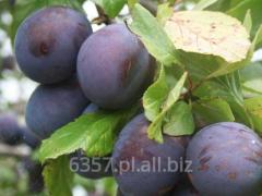 Drzewka owocowe :Śliwy