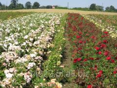 Szkółka róż
