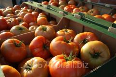 Świeży, hodowany w Polsce pomidor szklarniowy
