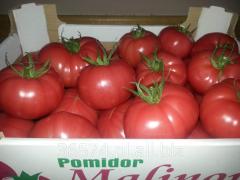 Świeży, dorodny, produkowany w Polsce pomidor