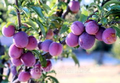 Plum seedlings, fruit trees,