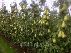 Seedlings Pear, Pear trees, fruit trees