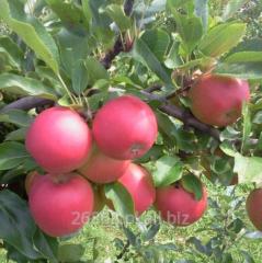Bardzo smaczne i aromatyczne jabłka sprawdzonych