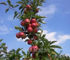 Bardzo słodkie, aromatyczne jabłka deserowe