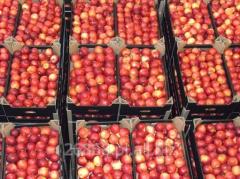 Gloster, słodko-kwaśne i bardzo aromatyczne jabłka