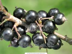 الكشمش الأسود الطازج.