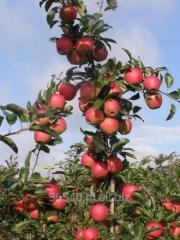 Drzewka Owocowe, drzewka owocowe jabłoń. śliwa,
