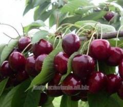 Sadzonki wiśni odmiany średniowczesnej Nana