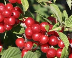 Seedlings of decorative cherry