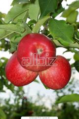 Sprzedaż sadzonek jabłoni.