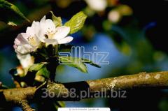 Sadzonki jabłoń. Rożne odmiany