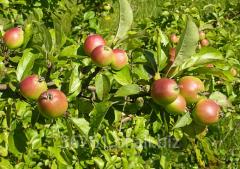 Sadzonki jabłoń