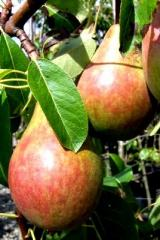 Pear seedlings. Varieties: Bonkreta Williamsa,