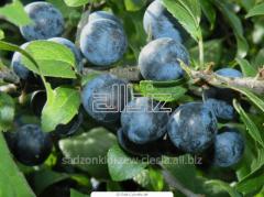 Saplings of fruit trees, seedlings plum trees