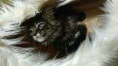 Koteczka ABI WOLNA