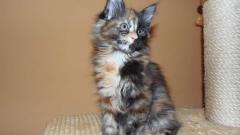 Koty Rasowe Maine Coon