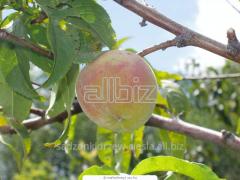 Saplings of fruit trees, fruit trees, seedlings of