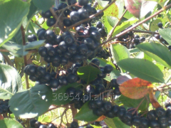 Sadzonki krzewów aronii czarnoowocowej Galicjanka,