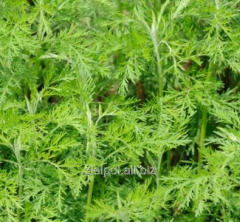 Bylica boże drzewko ziele,  Abrotani Herba, ...