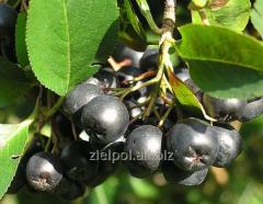 Aronia fruit, Aroniae Fructus