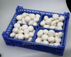 Pieczarki białe segregowane w opakowaniach 250 g