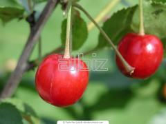 Common cherry