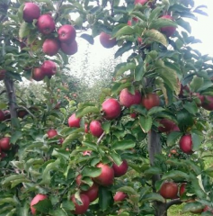 Jabłka prosto z sadu od Omega
