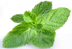 Lemon balm leaf, lemon balm, Melissae folium /