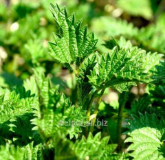 Dried nettle leaves, stinging nettle, Urtica