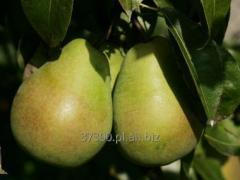 Jabłka Golden Delicious, z  kremowożółtym,