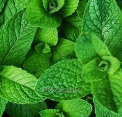 Leaves of black mint