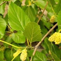 Suszone liście morwy białej, liść do zaparzania