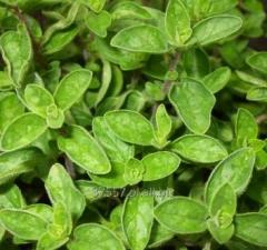 Oregano grass