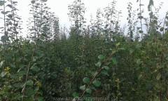 Drzewka Owocowe Jabłonie, Wiśnie, Czereśnie,
