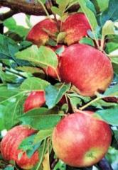 Rootstock for apple trees