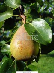 Pear rootstocks