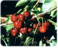 Cherry rootstocks