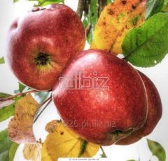 Jabłka lobo