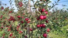 Jabłka zimowe