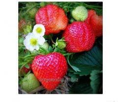 Sadzonki truskawki Alfa Centauri ®