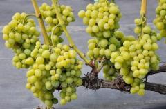 Sadzonki winorośli Arkadia odmiana o jasnych owocach