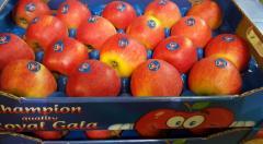 Świeże jabłka z polskich sadów