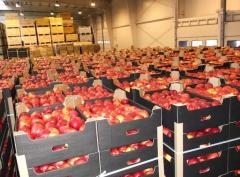 Najlepszej jakości jabłka różnych odmian,
