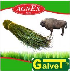 Oregano grass