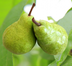 Fresh, juicy, pears for export and domestic sales.