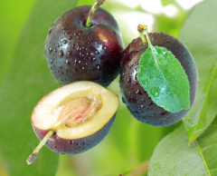 The highest quality fresh plums, we deliver to the
