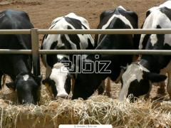 Cattle large horned (KRS)